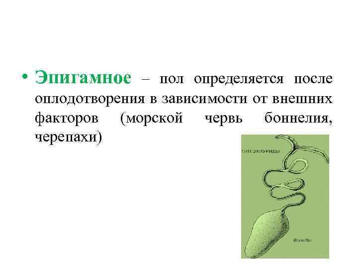 • Эпигамное – пол определяется после оплодотворения в зависимости от внешних факторов (морской