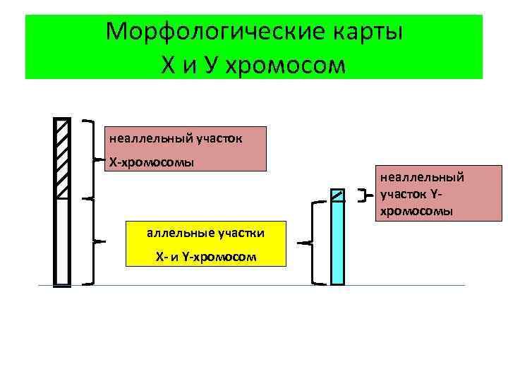 Морфологические карты Х и У хромосом неаллельный участок Х-хромосомы аллельные участки Х- и Y-хромосом