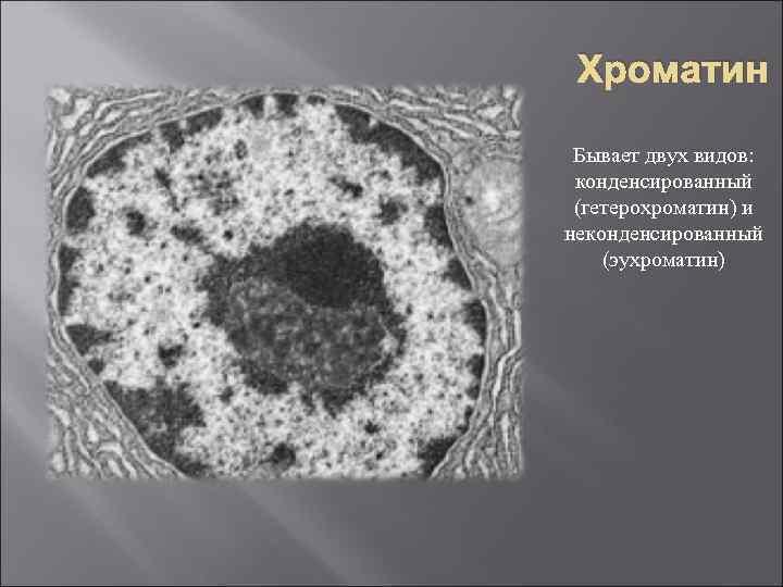 Хроматин Бывает двух видов: конденсированный (гетерохроматин) и неконденсированный (эухроматин)