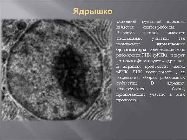 Ядрышко Основной функцией ядрышка является синтез рибосом. В геноме клетки имеются специальные участки, так