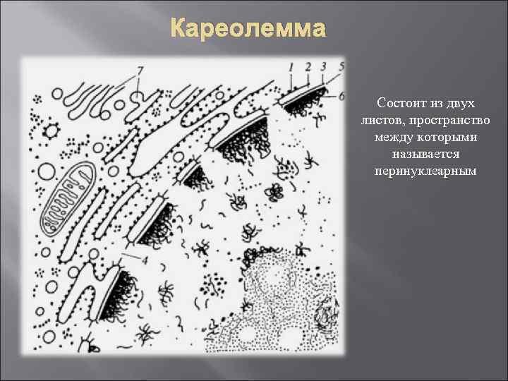 Кареолемма Состоит из двух листов, пространство между которыми называется перинуклеарным