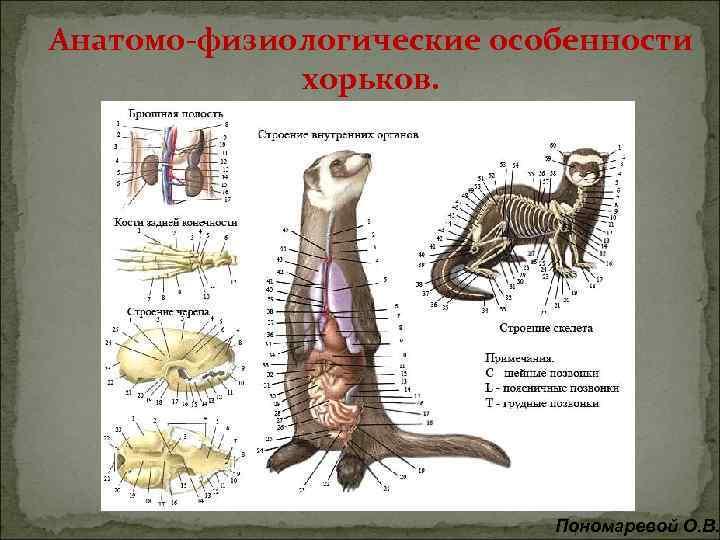 Анатомо-физиологические особенности хорьков. Пономаревой О. В.