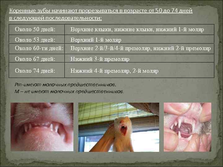 Коренные зубы начинают прорезываться в возрасте от 50 до 74 дней в следующей последовательности: