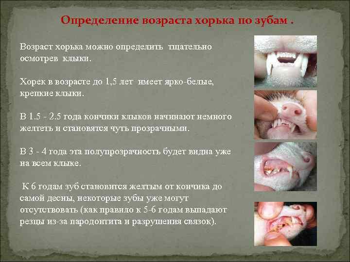 Определение возраста хорька по зубам. Возраст хорька можно определить тщательно осмотрев клыки. Хорек в