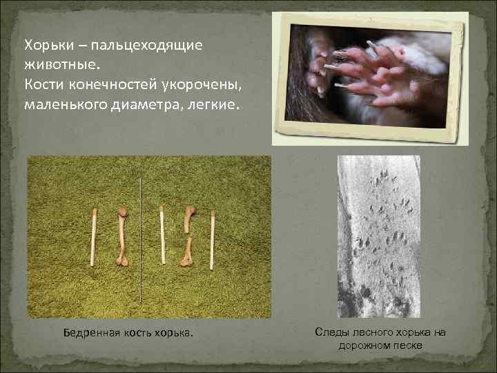 Хорьки – пальцеходящие животные. Кости конечностей укорочены, маленького диаметра, легкие. Бедренная кость хорька. Следы