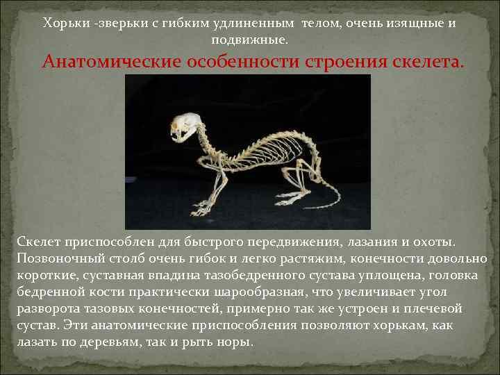 Хорьки -зверьки с гибким удлиненным телом, очень изящные и подвижные. Анатомические особенности строения скелета.