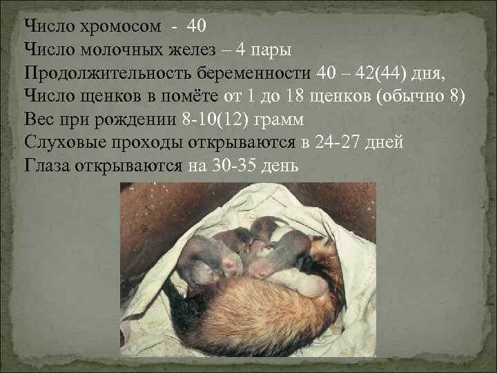 Число хромосом - 40 Число молочных желез – 4 пары Продолжительность беременности 40 –