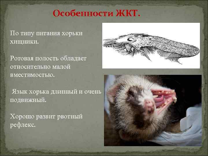 Особенности ЖКТ. По типу питания хорьки хищники. Ротовая полость обладает относительно малой вместимостью. Язык