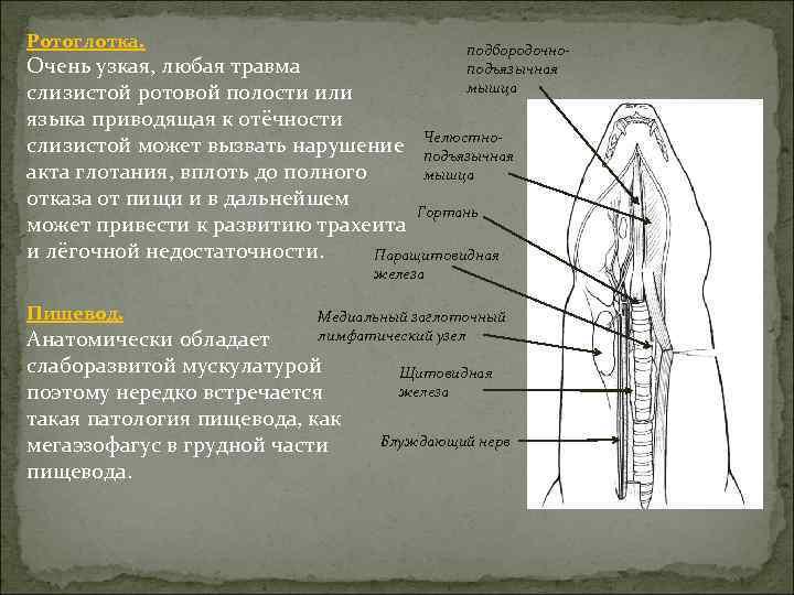Ротоглотка. подбородочноподъязычная мышца Очень узкая, любая травма слизистой ротовой полости или языка приводящая к
