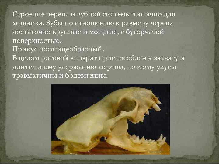 Строение черепа и зубной системы типично для хищника. Зубы по отношению к размеру черепа