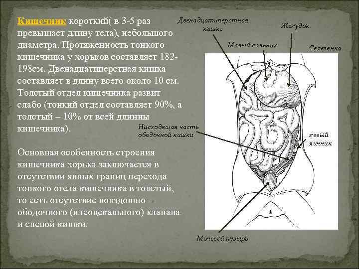 Двенадцатиперстная Кишечник короткий( в 3 -5 раз кишка превышает длину тела), небольшого Малый сальник
