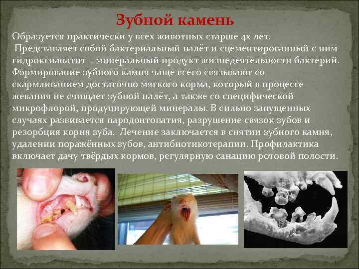 Зубной камень Образуется практически у всех животных старше 4 х лет. Представляет собой бактериальный