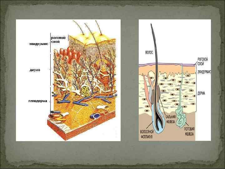 Общий анализ крови хорек