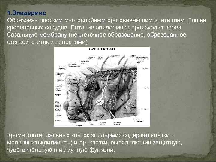 1. Эпидермис Образован плоским многослойным ороговевающим эпителием. Лишен кровеносных сосудов. Питание эпидермиса происходит через