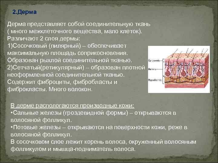 2. Дерма представляет собой соединительную ткань ( много межклеточного вещества, мало клеток). Различают 2