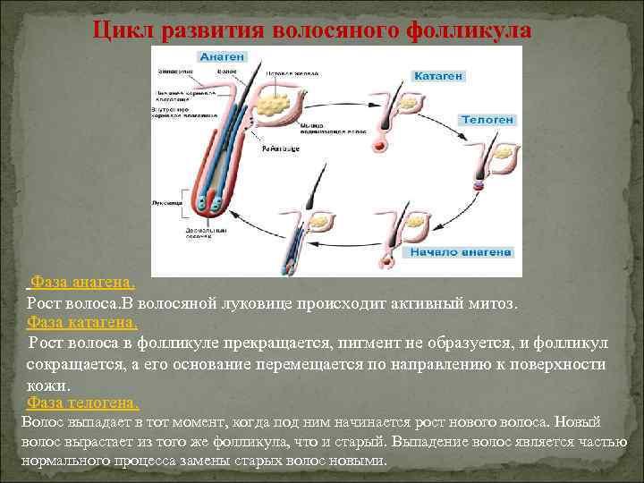Цикл развития волосяного фолликула Фаза анагена. Рост волоса. В волосяной луковице происходит активный митоз.