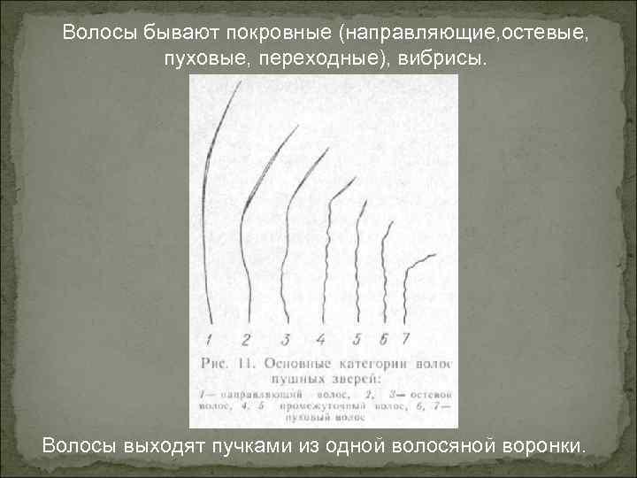 Волосы бывают покровные (направляющие, остевые, пуховые, переходные), вибрисы. Волосы выходят пучками из одной волосяной