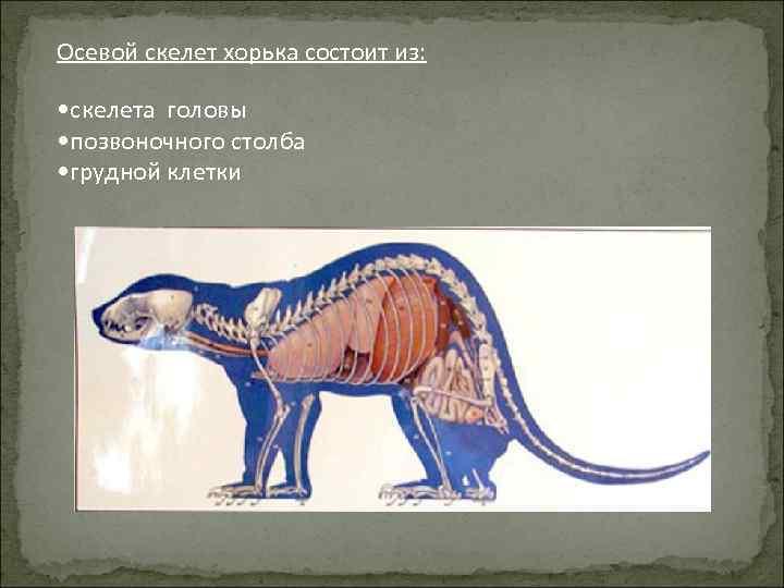 Осевой скелет хорька состоит из: • скелета головы • позвоночного столба • грудной клетки