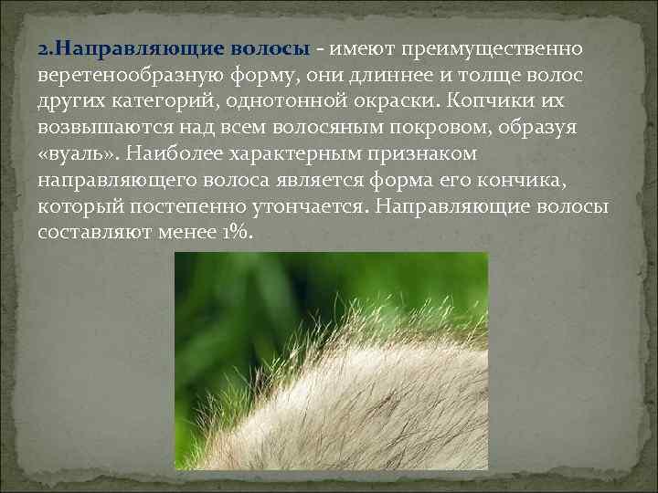 2. Направляющие волосы - имеют преимущественно веретенообразную форму, они длиннее и толще волос других
