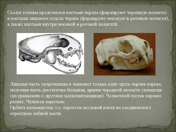 Скелет головы представлен костьми черепа (формируют черепную полость) и костьми лицевого отдела черепа (формируют