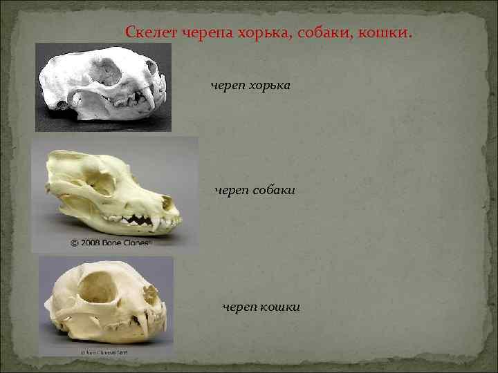 Скелет черепа хорька, собаки, кошки. череп хорька череп собаки череп кошки