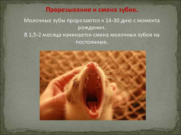 Прорезывание и смена зубов. Молочные зубы прорезаются к 14 -30 дню с момента рождения.