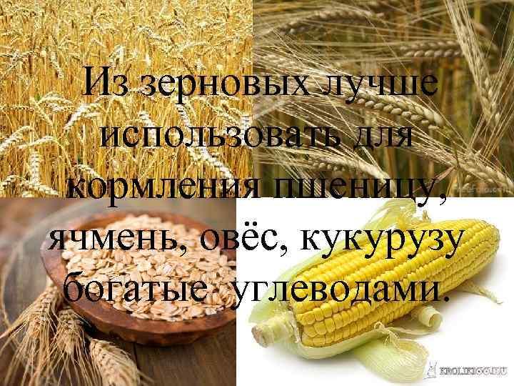 Из зерновых лучше использовать для кормления пшеницу, ячмень, овёс, кукурузу богатые углеводами.