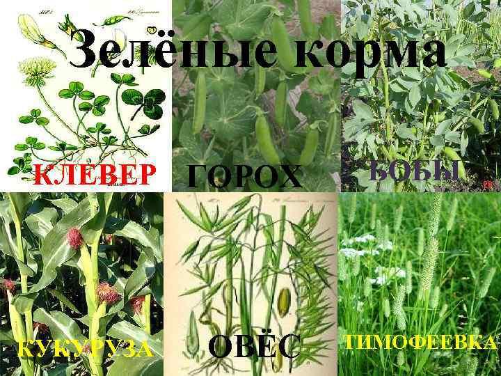 Зелёные корма КЛЕВЕР ГОРОХ КУКУРУЗА ОВЁС БОБЫ ТИМОФЕЕВКА