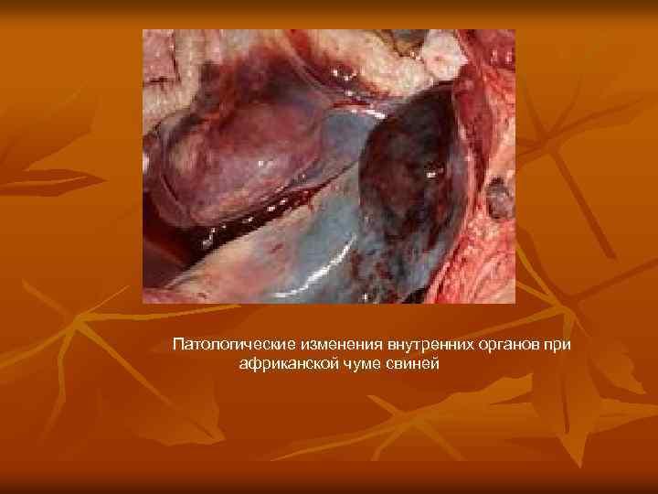 Патологические изменения внутренних органов при африканской чуме свиней