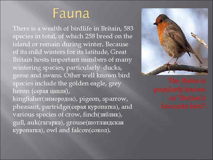 Fauna There is a wealth of birdlife in Britain, 583 species in total, of