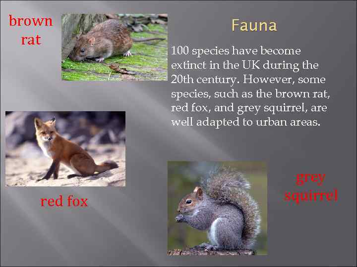 brown rat red fox Fauna 100 species have become extinct in the UK during