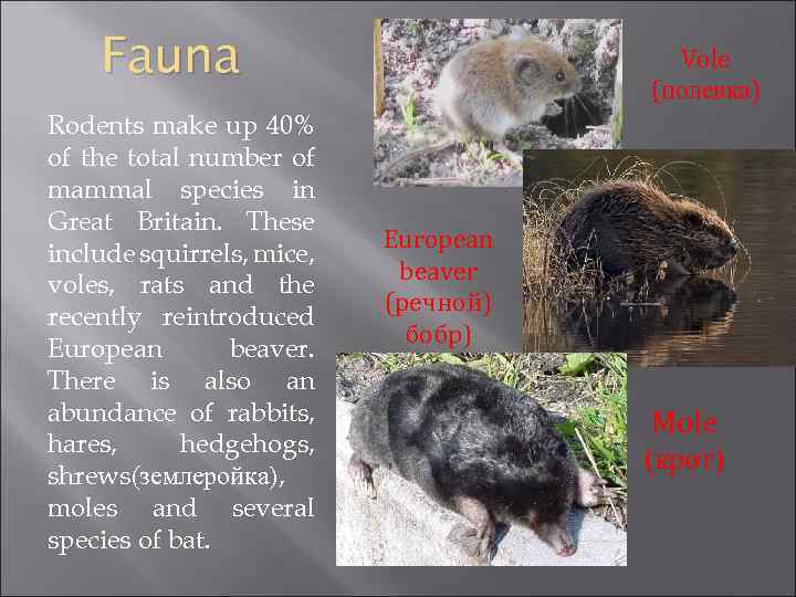 Fauna Rodents make up 40% of the total number of mammal species in Great
