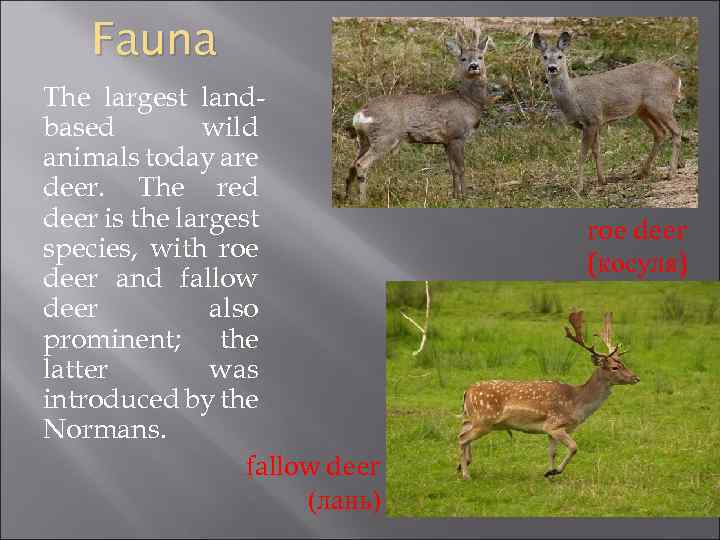 Fauna The largest landbased wild animals today are deer. The red deer is the