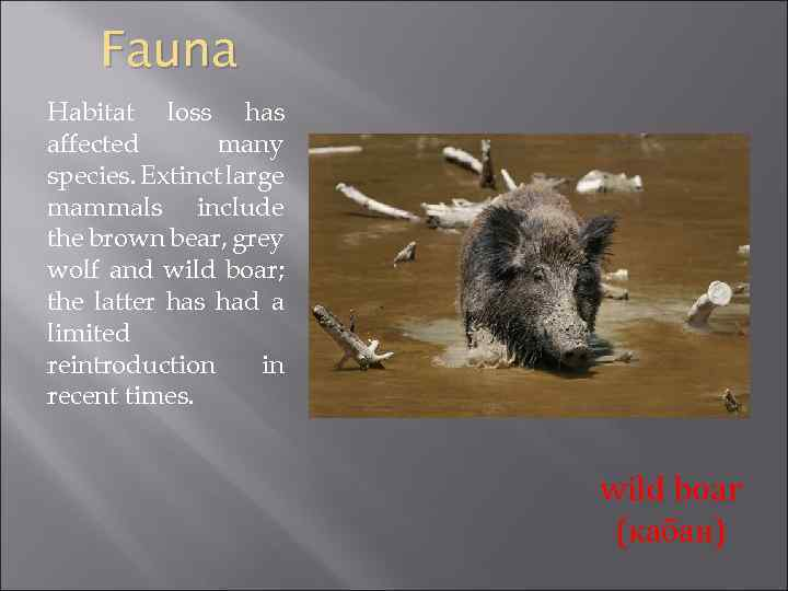 Fauna Habitat loss has affected many species. Extinct large mammals include the brown bear,