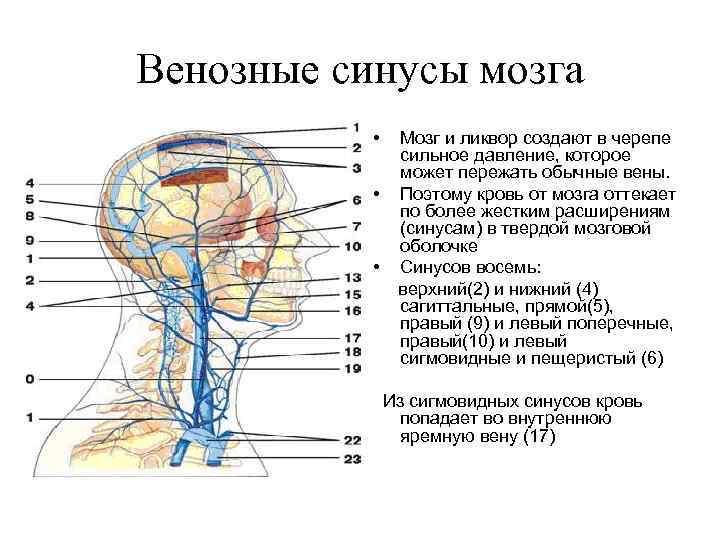 Венозные синусы мозга • • • Мозг и ликвор создают в черепе сильное давление,