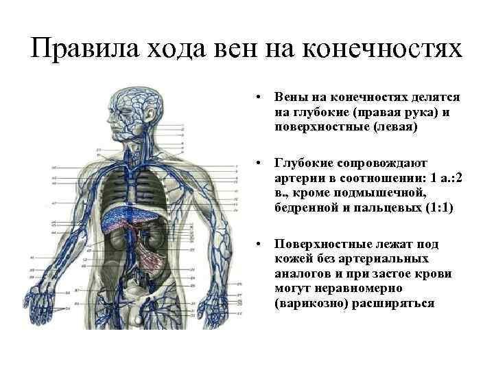 Правила хода вен на конечностях • Вены на конечностях делятся на глубокие (правая рука)