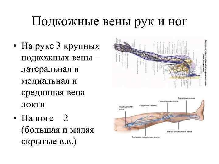 Подкожные вены рук и ног • На руке 3 крупных подкожных вены – латеральная