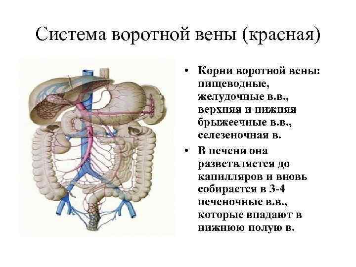 Система воротной вены (красная) • Корни воротной вены: пищеводные, желудочные в. в. , верхняя
