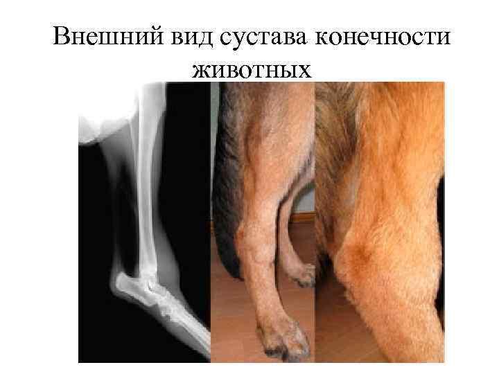 Ветеринария аутоиммуные болезни суставов дисплазия тазобедренных суставов у детей фото нормы
