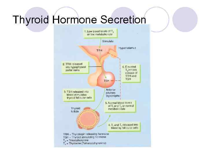 Thyroid Hormone Secretion