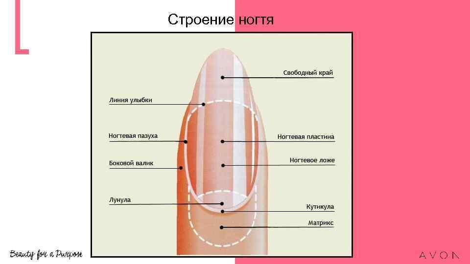 Анатомия ногтя мастер маникюр