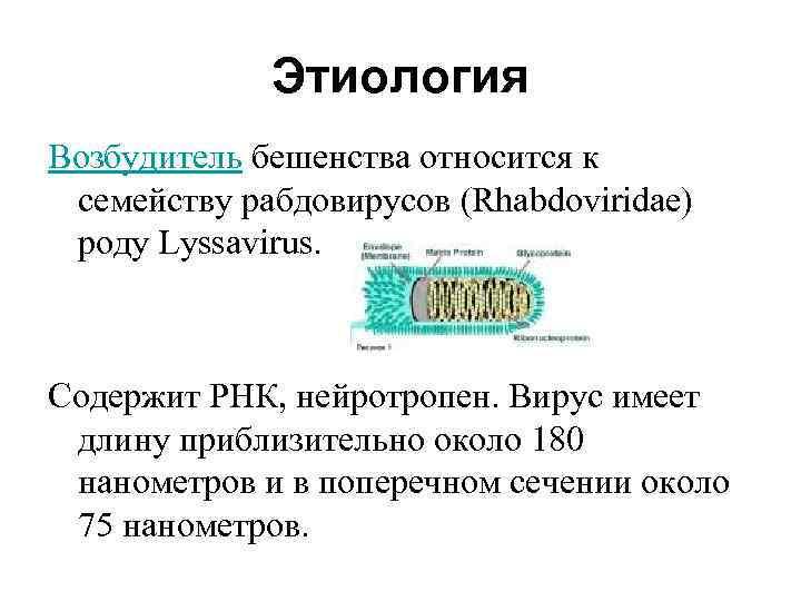 Этиология Возбудитель бешенства относится к семейству рабдовирусов (Rhabdoviridae) роду Lyssavirus. Содержит РНК, нейротропен. Вирус