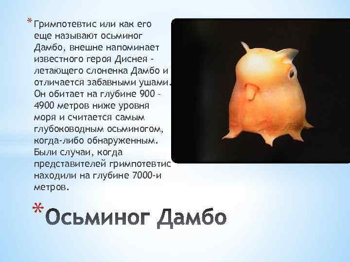 * Гримпотевтис или как его еще называют осьминог Дамбо, внешне напоминает известного героя Диснея