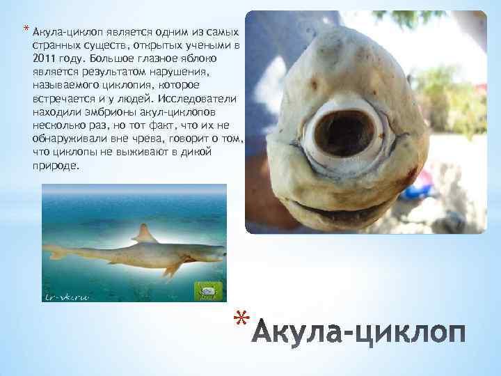 * Акула-циклоп является одним из самых странных существ, открытых учеными в 2011 году. Большое