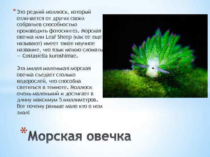 * Это редкий моллюск, который отличается от других своих собратьев способностью производить фотосинтез. Морская
