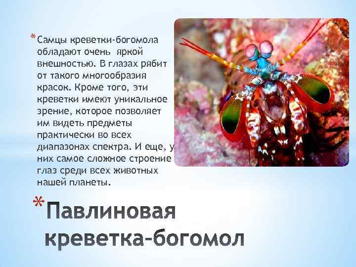 * Самцы креветки-богомола обладают очень яркой внешностью. В глазах рябит от такого многообразия красок.