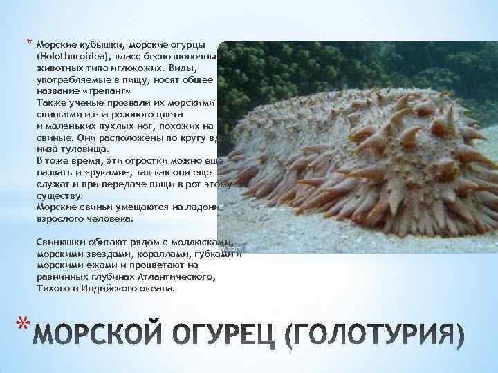 * Морские кубышки, морские огурцы (Holothuroidea), класс беспозвоночных животных типа иглокожих. Виды, употребляемые в