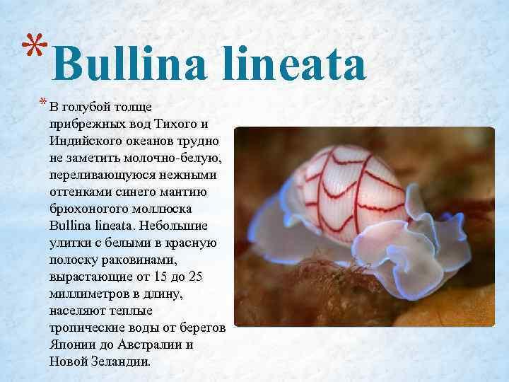 *Bullina lineata * В голубой толще прибрежных вод Тихого и Индийского океанов трудно не