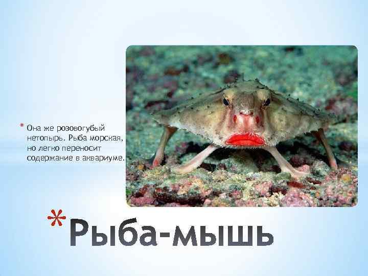 * Она же розовогубый нетопырь. Рыба морская, но легко переносит содержание в аквариуме. *