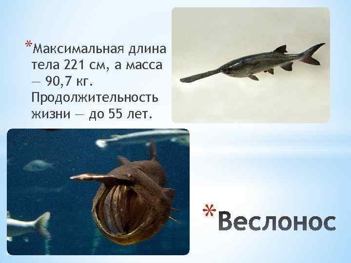 *Максимальная длина тела 221 см, а масса — 90, 7 кг. Продолжительность жизни —
